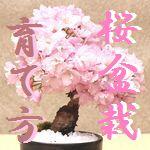 桜盆栽の育て方~正しいお手入れの方法~