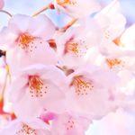 桜の綺麗な撮り方!スマホやデジカメで桜を撮影する時のコツとは?