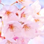 桜 綺麗 撮り方