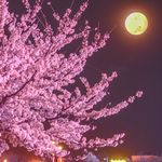 夜桜 ライトアップ 撮影