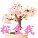 桜盆栽 害虫
