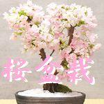 桜盆栽 おすすめ
