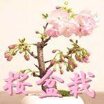 桜盆栽 病気