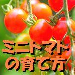 ミニトマト 育て方